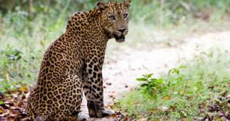 leopard-srilanka